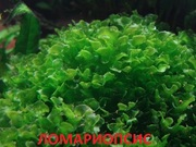 Ломариопсис. НАБОРЫ растений для запуска акваса. ПОЧТОЙ отправлю