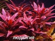 Людвигия гландулоза. НАБОРЫ растений для запуска. ПОЧТОЙ и МАРШРУТКО