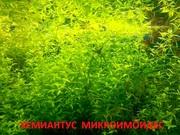 Хемиантус микроимоидес. НАБОРЫ растений для запуска. ПОЧТОЙ и МАРШРУТ