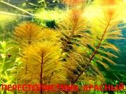 Перестолистник красный.. НАБОРЫ растений для запуска. ПОЧТОЙ и МАРШРУ