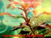 Прозерпинака палюстрис.. НАБОРЫ растений для запуска. ПОЧТОЙ и МАРШРУ