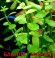 Бакопа монье. НАБОРЫ растений для запуска акваса. ПОЧТОЙ и МАРШРУТК