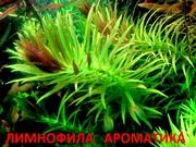 Лимнофила ароматика.. НАБОРЫ растений для запуска. ПОЧТОЙ