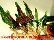 Криптокорина родственная. НАБОРЫ растений для запуска акваса. ПОЧТОЙ