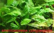 Криптокорина серцевидная. НАБОРЫ растений для запуска акваса. ПОЧТОЙ