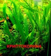 Криптокорина апогеннолистн. НАБОРЫ растений для запуска акваса. ПОЧТОЙ