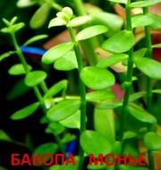 Бакопа монье. НАБОРЫ растений для запуска акваса. ПОЧТОЙ