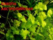 Бакопа австролийская. НАБОРЫ растений для запуска акваса. ПОЧТОЙ