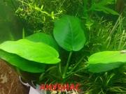 Анубиас нана. НАБОРЫ растений для запуска акваса. ПОЧТОЙ