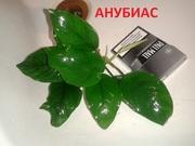 Анубиас нана. НАБОРЫ растений для запуска. УДОБРЕНИЯ. ПОЧТОЙ