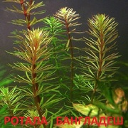 Роттала Бангладеш. НАБОРЫ растений для запуска. УДОБРЕНИЯ. ПОЧТОЙ