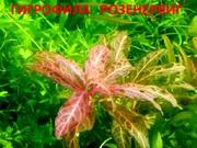 Гигрофила розенервиг. НАБОРЫ растений для запуска. УДОБРЕНИЯ. ПОЧТО
