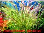 Погостемон октопус. НАБОРЫ растений для запуска. П0ЧТОЙ и МАРШР_