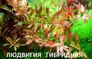 Людвигия гибридная. НАБОРЫ растений для запуска. ПОЧТОЙ отправ_