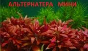 Альтернатера МИНИ - НАБОРЫ растений для запуска. Почтой отправлю-
