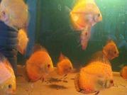 продаю дискусов,  дискусы,  рыбки